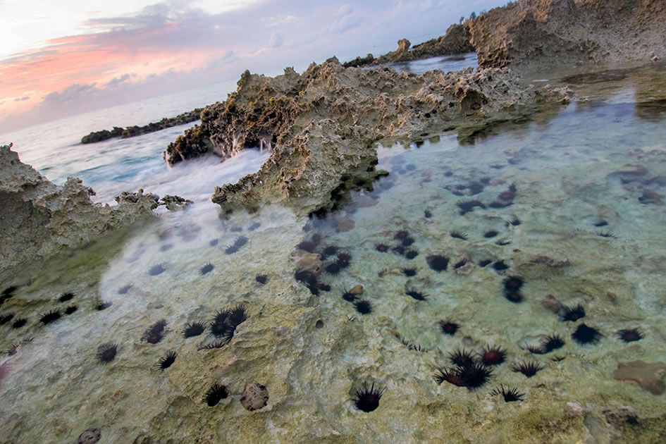 Sea urchins at dusk, South Sound, Grand Cayman