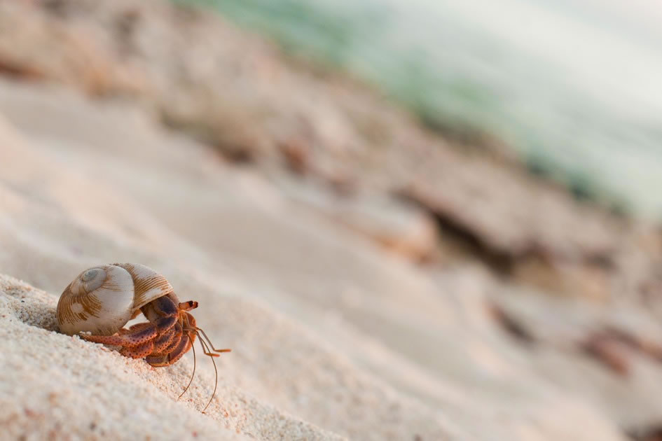 Hermit Crab Cruising on the Beach in South Sound, Grand Cayman