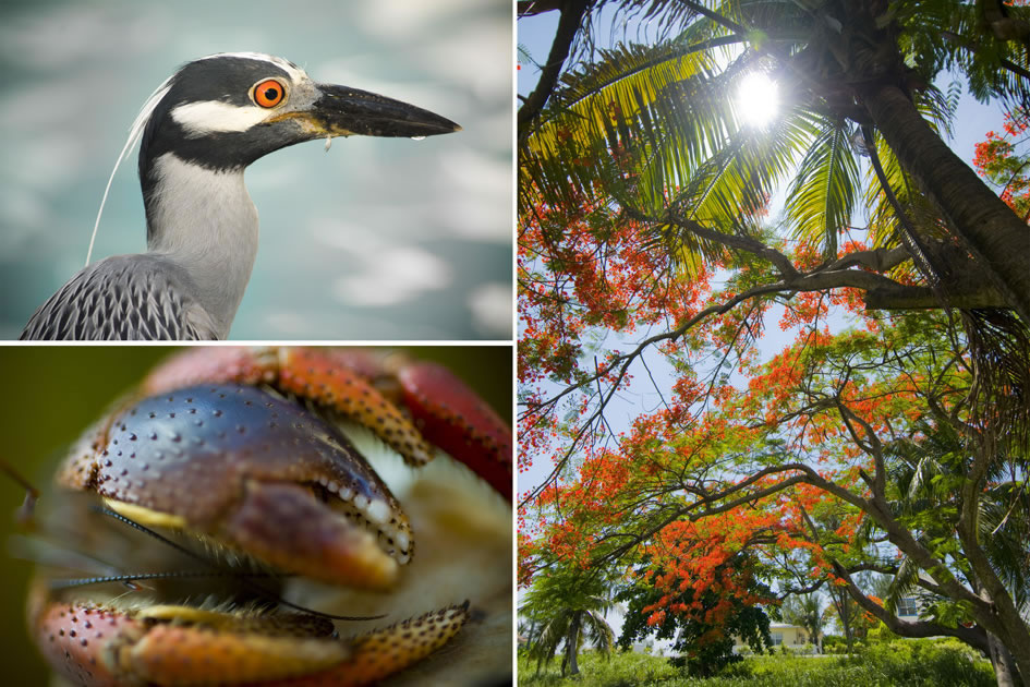 Midnight heron, hermit crab and a blooming poinciana tree, Cayman Islands