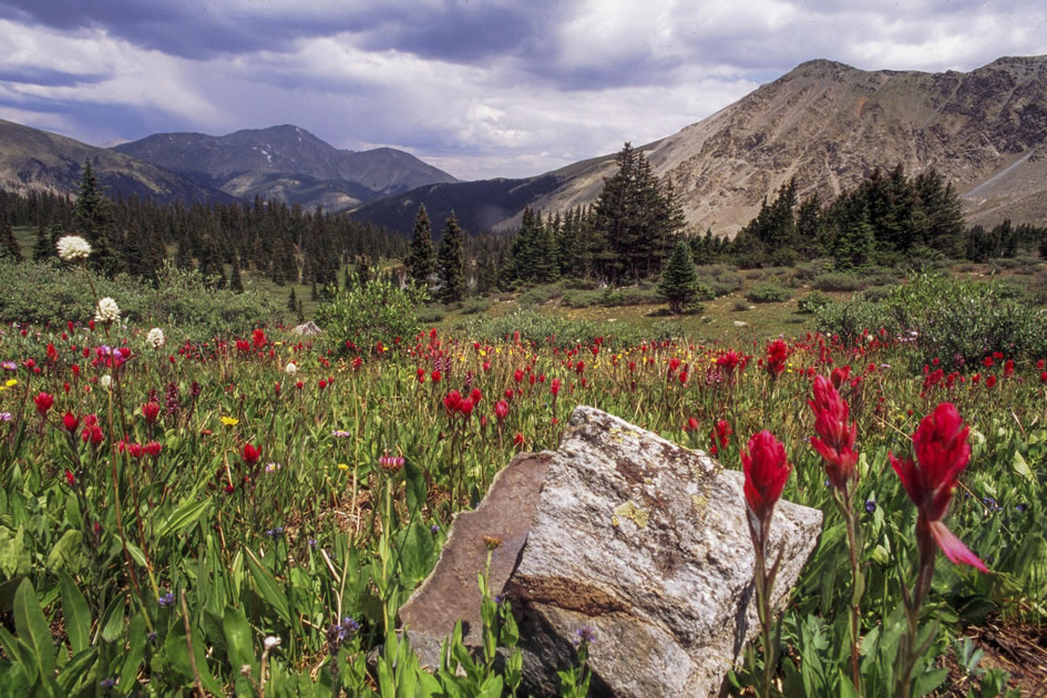 Indian Paintbrush in the Mountains of the Collegiate Range