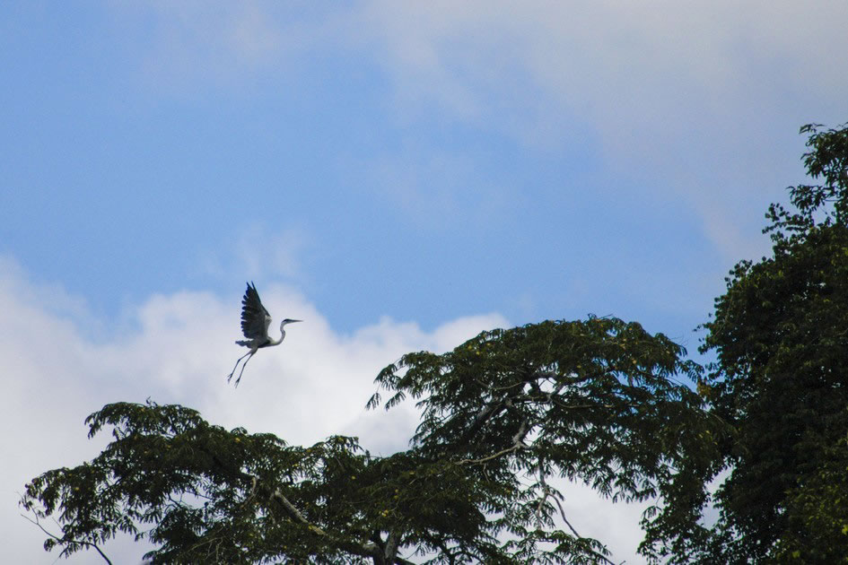 Heron on the Amazon