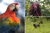 Scarlet Macaw, Red Faced, Woolly Monkey