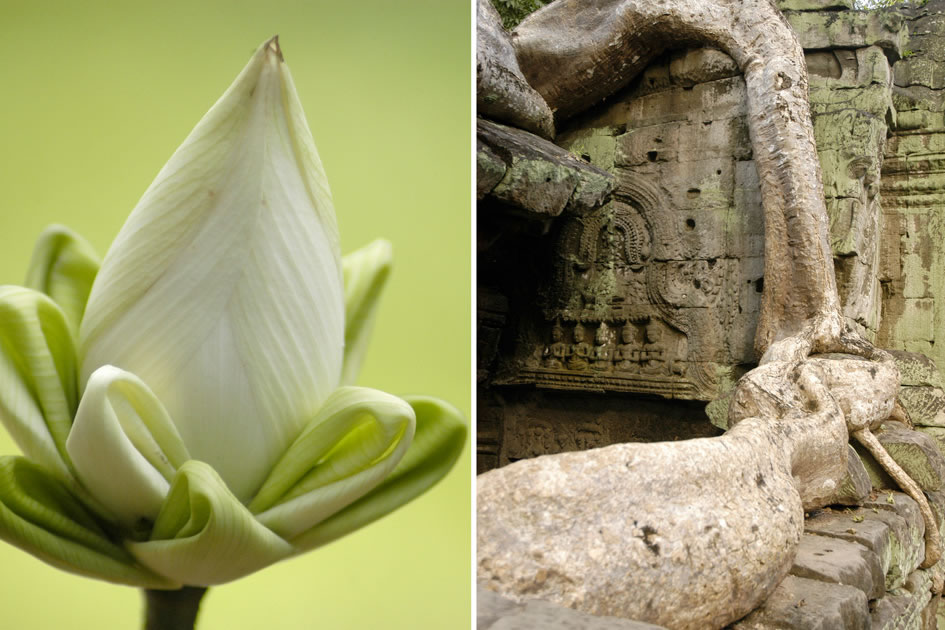Lotus flower with its petals folded; Root growing over a temple Ta Prohm, Siem Reap