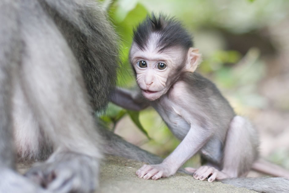 Baby Macaque, Monkey Forest, Ubud