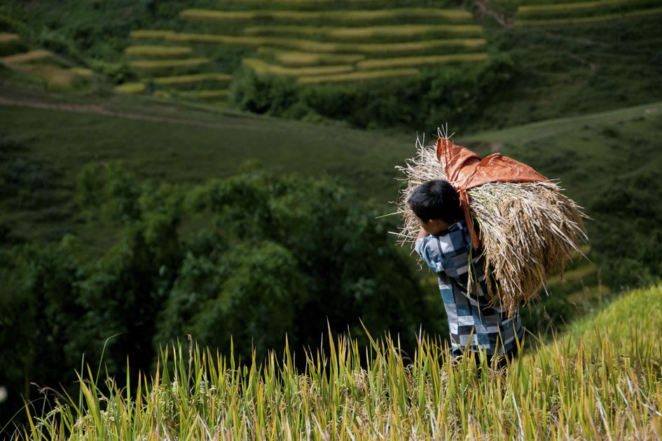 Hard working boy harvesting rice, Sapa