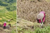 Rice harvest, Sapa