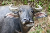 Water buffalo, Sapa