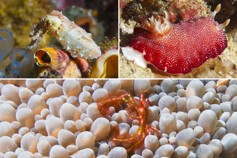 Pigmy Cuttlefish, Reticulated Nudibranch & Hairy Crab, Raja Ampat, Indonesia