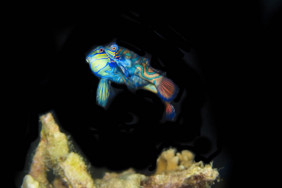 Mandarin fish mating, Malapascua, Philippines