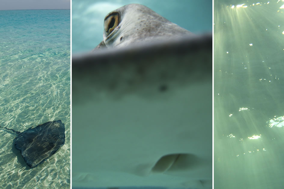 Southern Atlantic Stingray, Grand Cayman, Cayman Islands