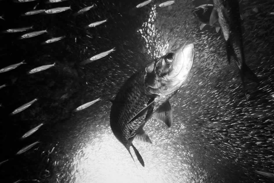 Tarpon at Devil's Grotto, Grand Cayman, Cayman Islands