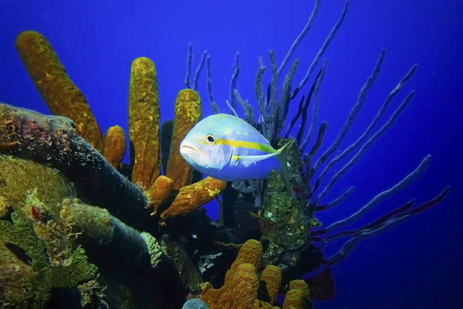 Yellowtail Snapper, Grand Cayman, Cayman Islands