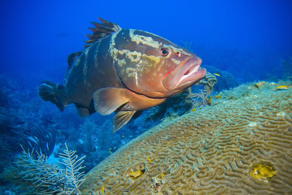 Nassau Grouper at Grouper Hole, Little Cayman, Cayman Islands