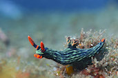 Nudibranch, Japanese Wreck, Amed, Bali, Indonesia