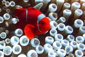 Clownfish plays in his bulb anemone home