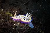 Kunie's Nudibranch, Japanese Wreck, Amed, Indonesia